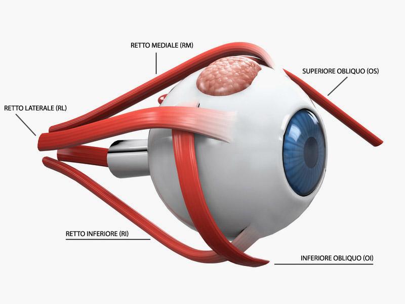 muscoli occhio